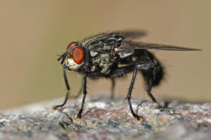 pest control - house fly